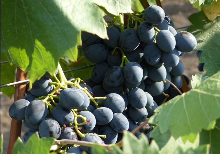 6_Wein in der Nähe der Stadt Tvardiţa